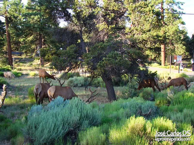 Ciervos Grand Canyon South Rim