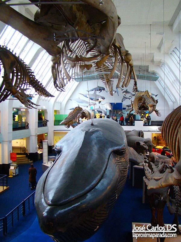 Ballena Azul Sala Museo Historia de Londres