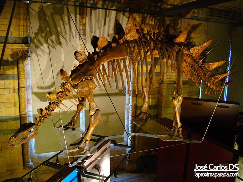 Esqueleto Stegosaurus Estegosaurio Museo Historia Londres