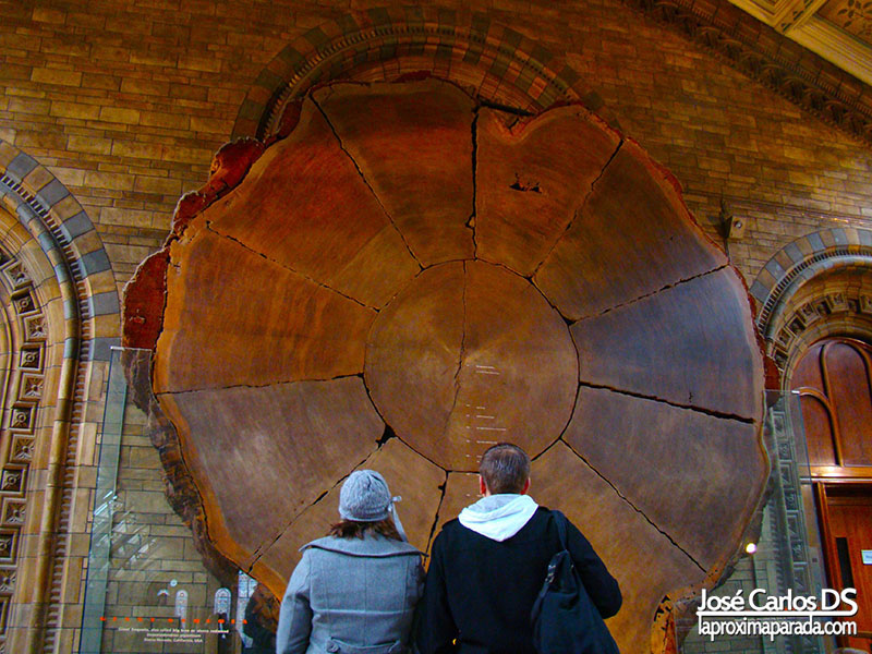 Tronco Sequoia Museo Historia Natural Londres