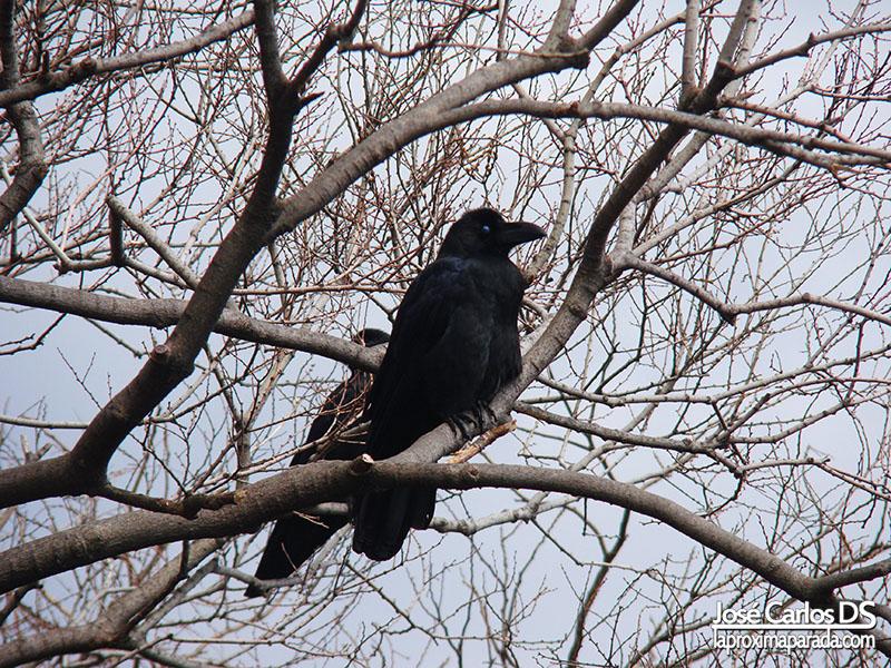 Cuervo en Castillo de Osaka