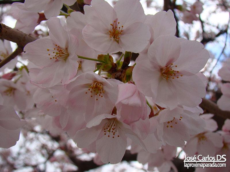 Flores Hanami en Osaka