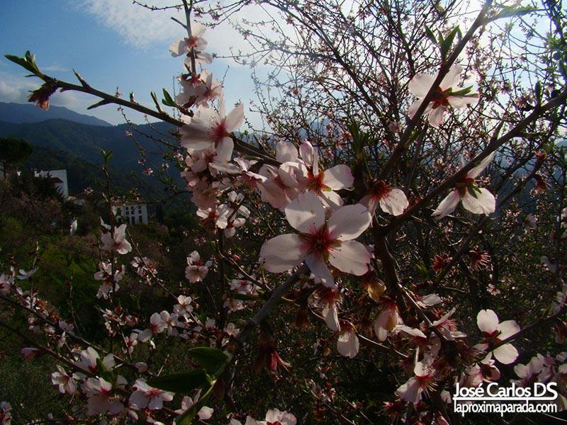 Almendros en flor Genalguacil