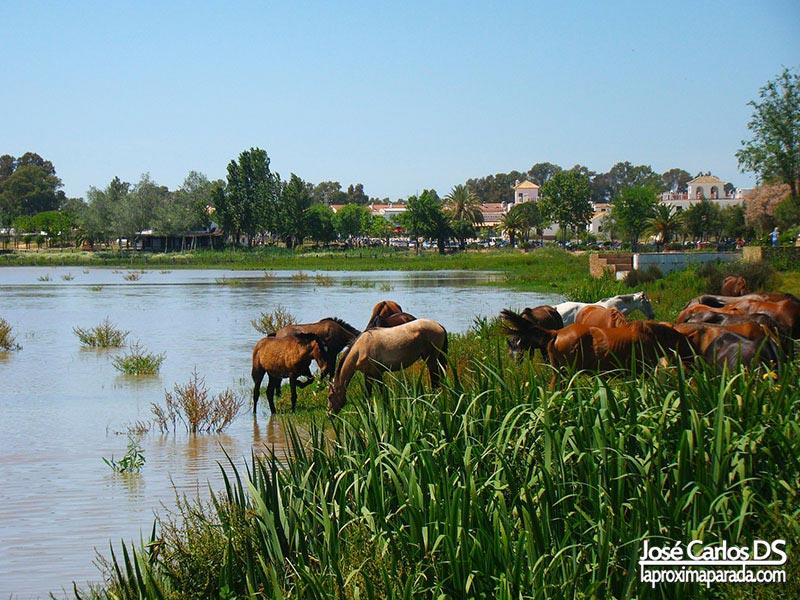 Caballos en Marismas del Rocío, Almonte