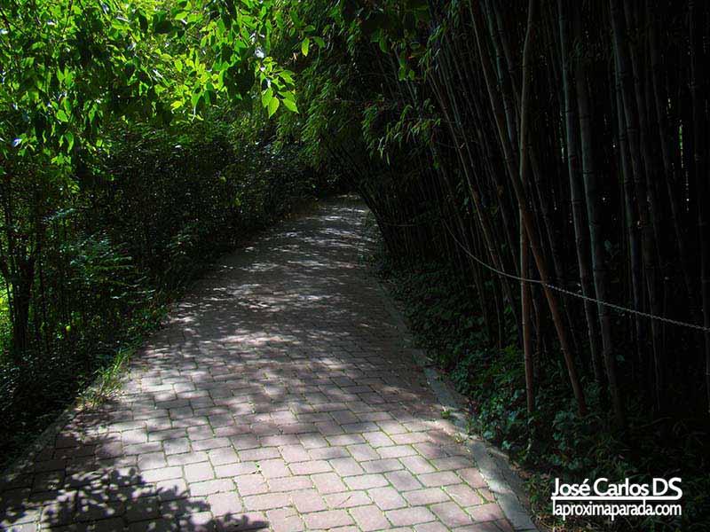 Bambúes Jardín Botánico La Concepción