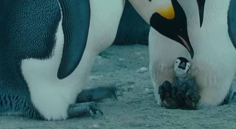 Cría Pingüino El viaje del emperador